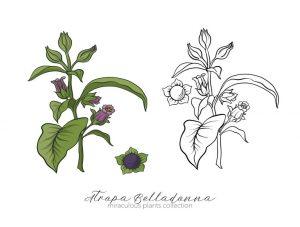 La Belladonne ou Atropa Belladonna est issue de la famille des Solanacées.