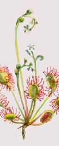 Calmer la toux : La drosère ou rosée du soleil