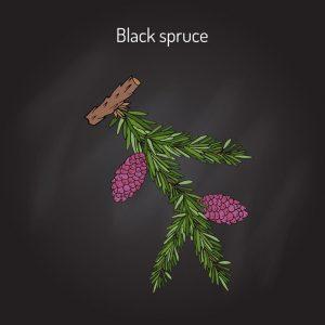 L'épinette noire, Picea mariana est un épicéa des zones montagneuses du Canada
