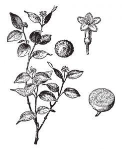 La souche Nux vomica est issue de la noix vomique qui pousse sur un arbuste du sud-est asiatique : ce sont les graines du vomiquier qui sont ici utilisées.