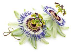 La passiflore, un remède naturel contre le stress et la nervosité