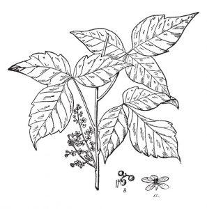 Rhus Toxicodendron ou sumac vénéneux