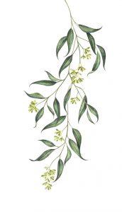 Un anti-moustique : l'eucalyptus citronné