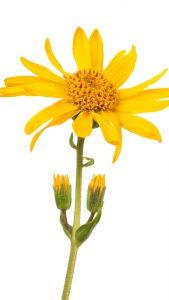 Arnica Montana : la fleur