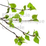 Betula pubescens bourgeon - bouleau