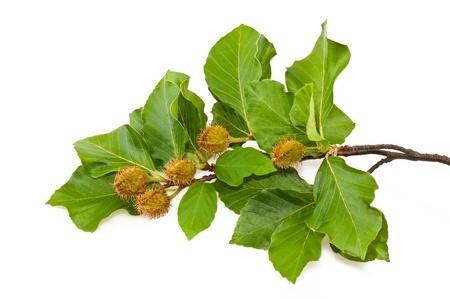 Fagus sylvatica bourgeon commander en ligne phc - Homeopathie coup de froid ...