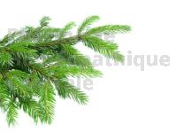 Pinus montana bourgeon mg 1 DH  - pin de montagne