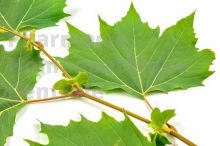 Platanus bourgeon - platane