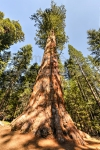 Sequoia gigantea bourgeon - séquoia